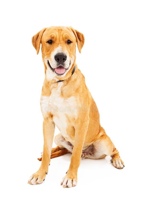 Labrador Retriever Dog Smiling royalty free stock image