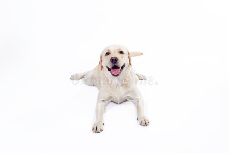 Labrador retriever dorato immagine stock libera da diritti