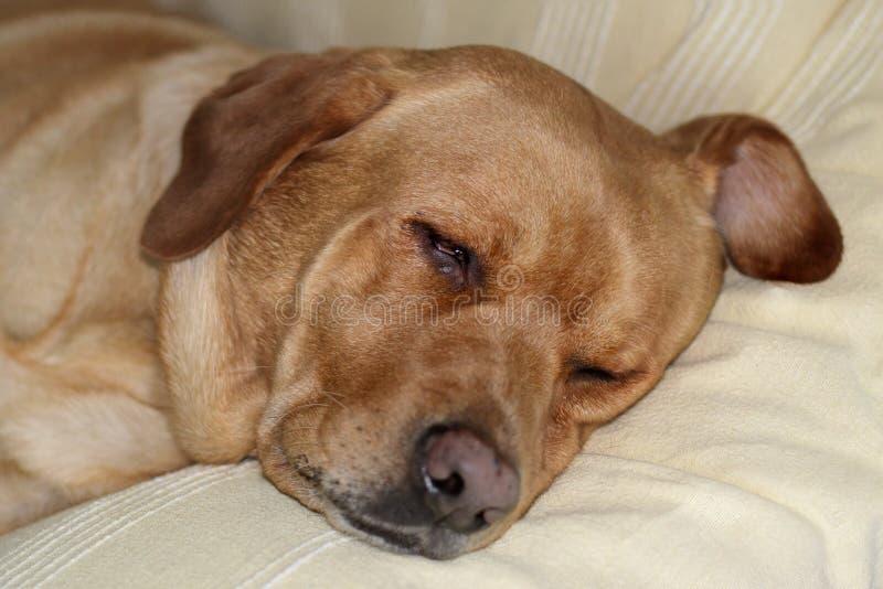 Labrador retriever dosypianie na trenerze obraz royalty free