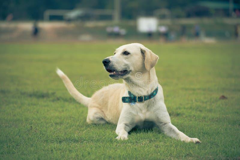 Labrador retriever en hierba del campo imágenes de archivo libres de regalías