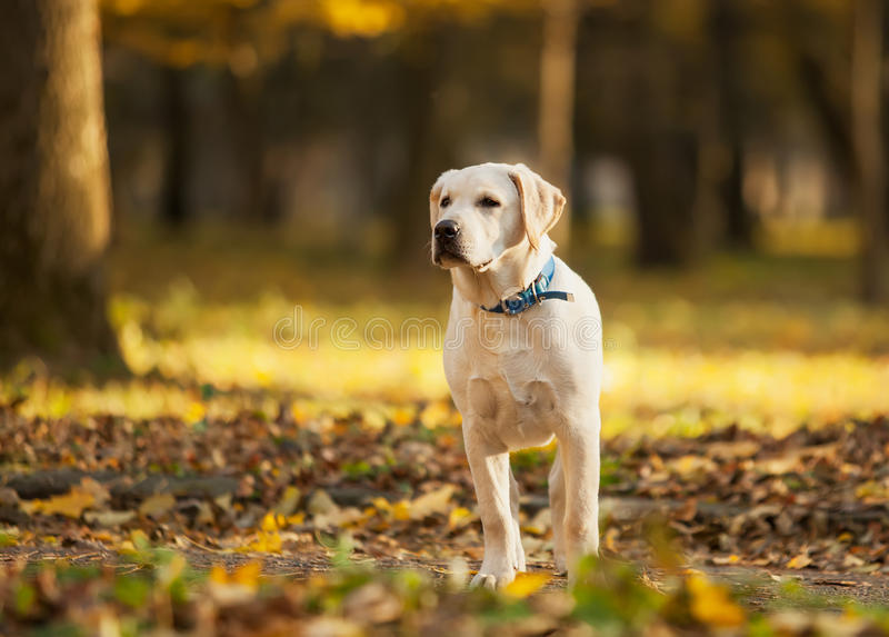 Labrador retriever en parc images stock