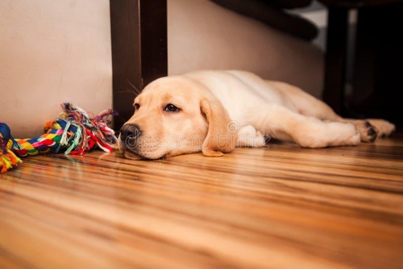 Labrador retriever en piso imágenes de archivo libres de regalías