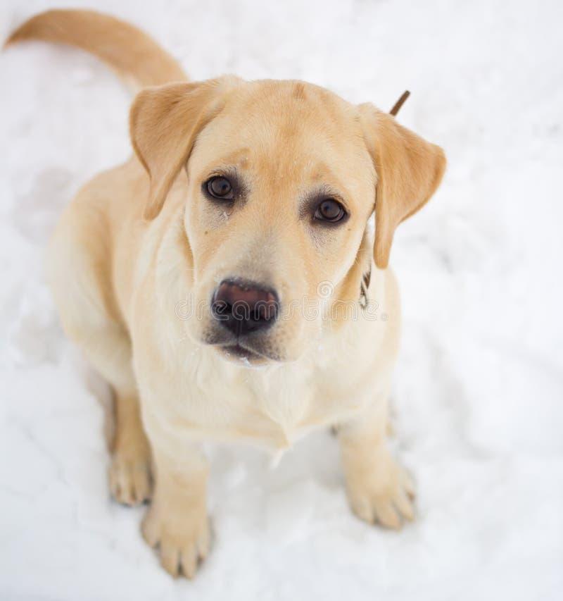 Labrador retriever en un paseo del invierno fotografía de archivo