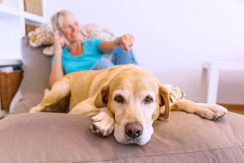 Labrador retriever encontra-se em uma mobília do assento quando uma mulher madura telefonar no fundo foto de stock royalty free