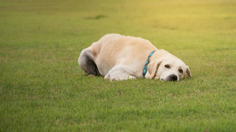 Labrador retriever on Field grass. In sport clup stock photography