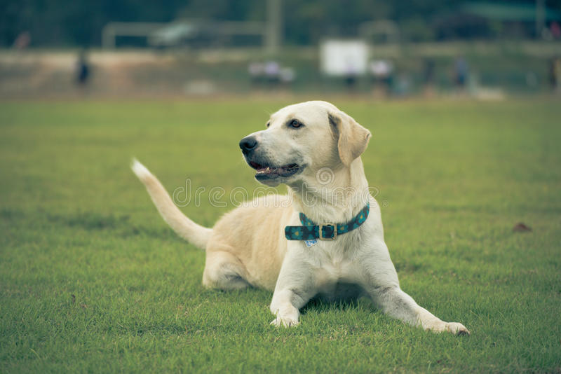 Labrador retriever on Field grass. In sport clup royalty free stock images