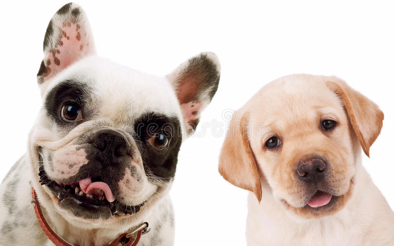 Labrador retriever and french bull dog puppy dogs. Picture of two little puppy dogs - labrador retriever and french bull dog looking at the camera royalty free stock image