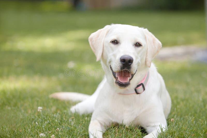 Labrador retriever giallo che risiede nell'erba fotografie stock libere da diritti