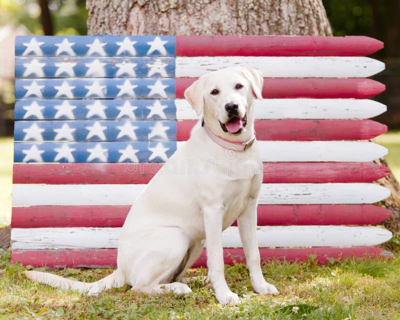 Labrador retriever giallo con la bandiera americana immagini stock