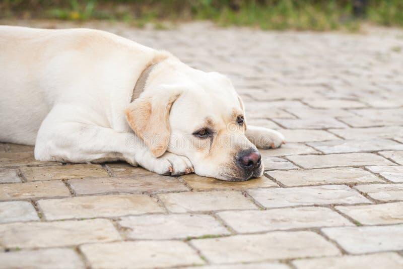 Labrador retriever giallo stanco che risiede nel parco fotografie stock