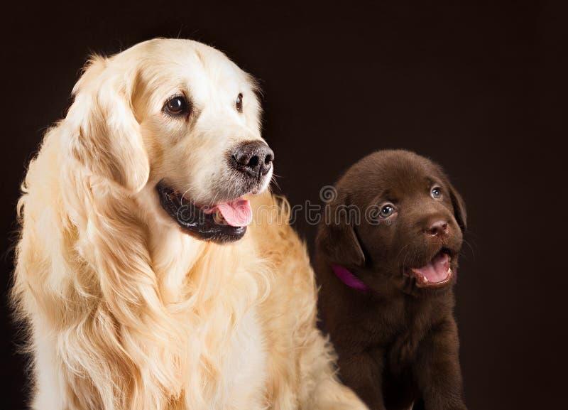 Labrador retriever, gold and chocolate together stock photos
