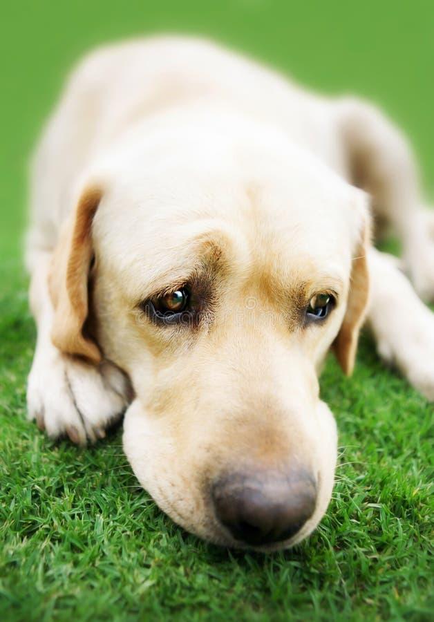Labrador retriever on grass. Pedigree Labrador Retriever resting on grass royalty free stock images