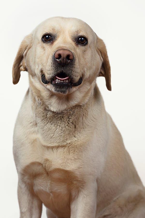 Labrador retriever isolou-se em um fundo branco fotos de stock royalty free