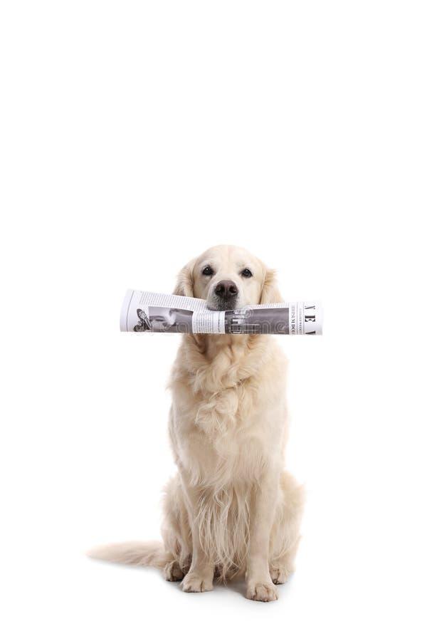 Labrador retriever jest prześladowanym trzymać gazetę w jego usta fotografia royalty free
