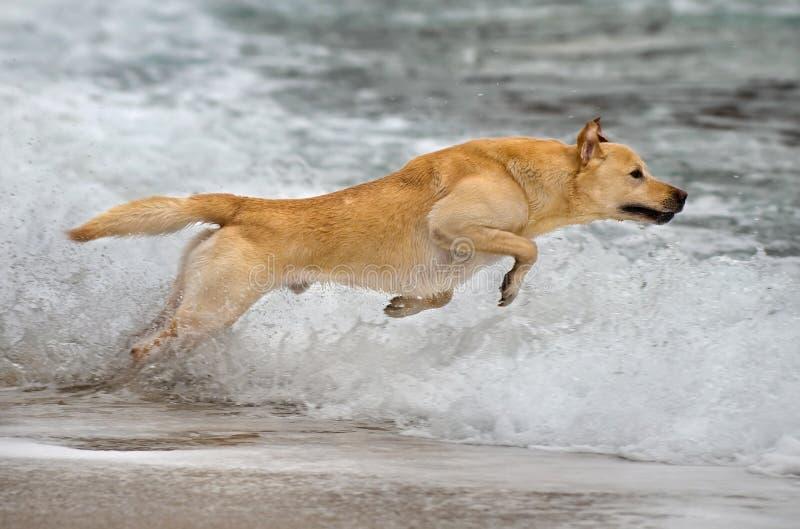 Labrador retriever jumping. Beautiful male Labrador retriever jumping in the water royalty free stock images