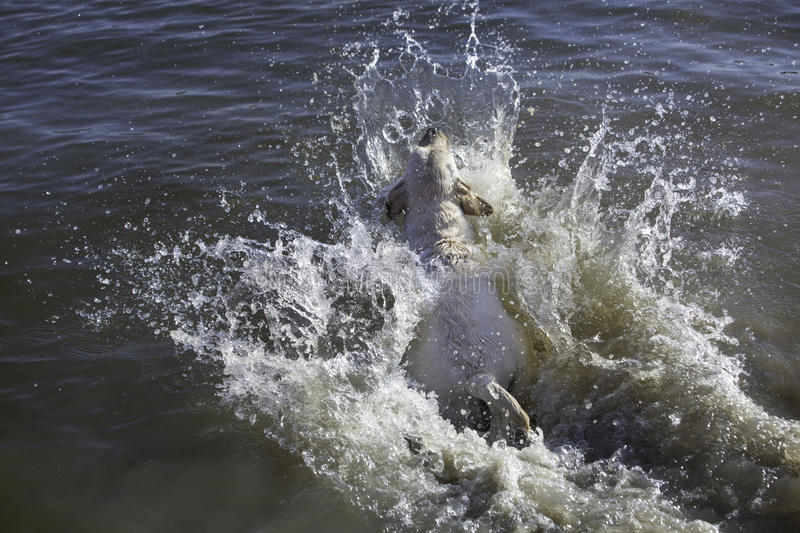 Labrador retriever jumping in the river. Retriever labrador swimming in a river and catching a branch. Fetch game. Splashing water stock images