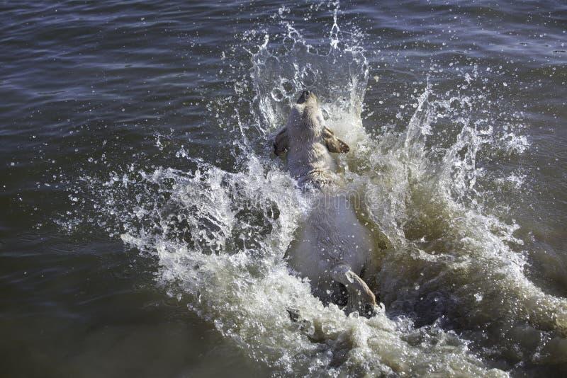Labrador retriever jumping in water. Labrador retriever jumpin in water and creating splash stock image