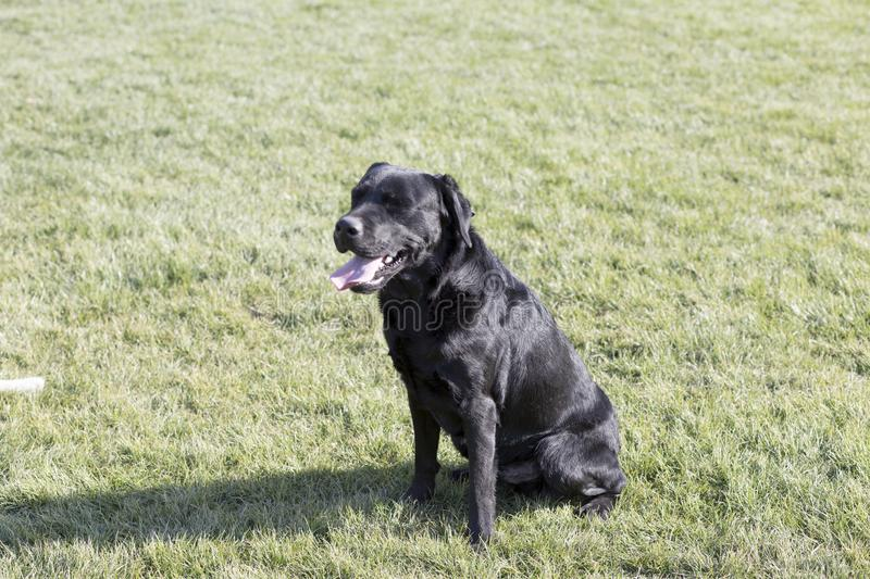The Labrador Retriever. Labrador, also known as the retrievers, is a large breed of dogs, which are very suitable for a guide dog or a subway police dog and a royalty free stock images