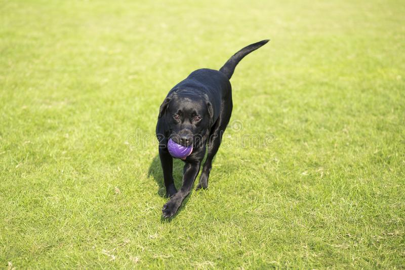 Labrador Retriever. Also known as the retriever, is a large dog, which is very suitable for being chosen as a guide dog or subway dog and dog and other working royalty free stock images