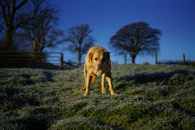 Labrador Retriever looking forwards. A wet labrador retriever looking forwards on a grassy bank with fields and trees in the background on a frosty morning royalty free stock image
