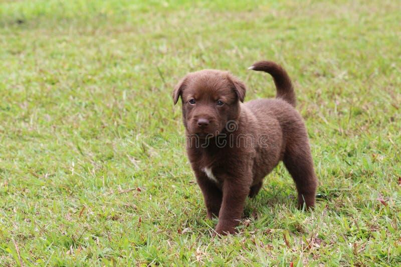 Labrador retriever-Mischungs-Schokolade farbiger Welpe lizenzfreie stockbilder