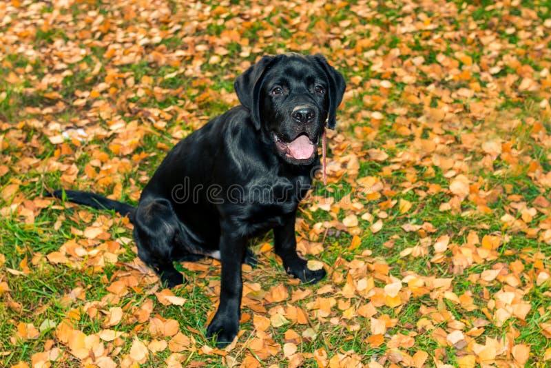 Labrador retriever negro que sienta y que mira al dueño fotos de archivo