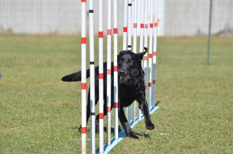 Labrador retriever nero alla prova di agilità del cane immagini stock libere da diritti