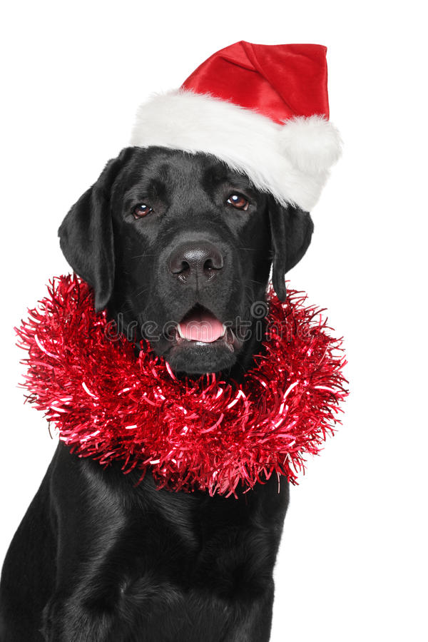 Labrador retriever noir dans le chapeau de rouge de Santa Christmas photo libre de droits