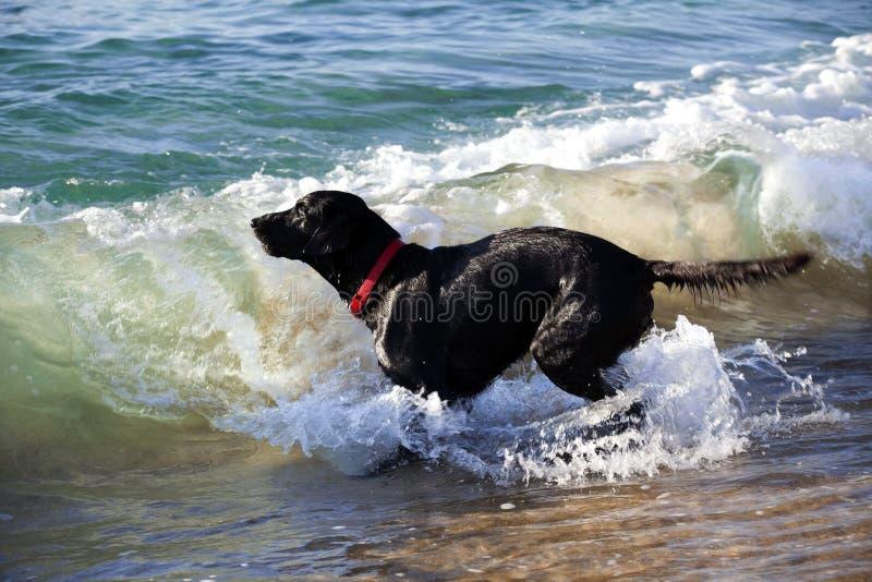 Labrador retriever noir jouant dans le ressac photo stock