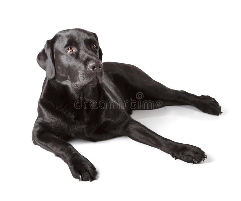 Labrador retriever noir photo libre de droits