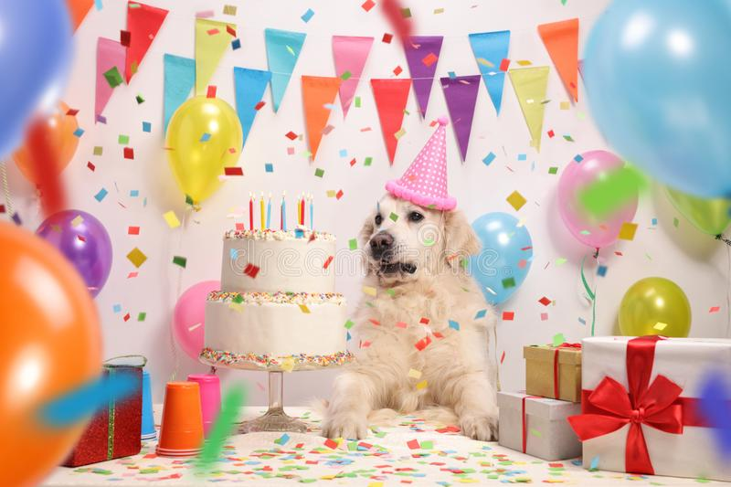 Labrador retriever with a party hat and a birthday cake. Against a wall with decoration flags and balloons royalty free stock images
