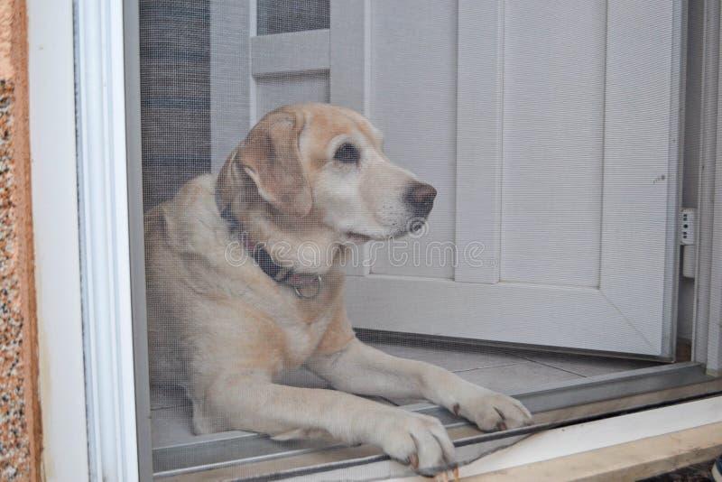 Labrador Retriever pies za drzwi obrazy royalty free