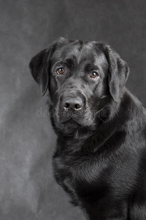 Labrador retriever preto foto de stock