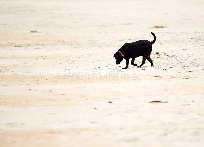 Labrador retriever preto que joga em um Sandy Beach foto de stock