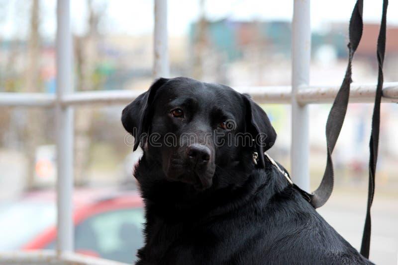 Labrador retriever preto senta-se perto da loja em antecipação ao proprietário fotografia de stock