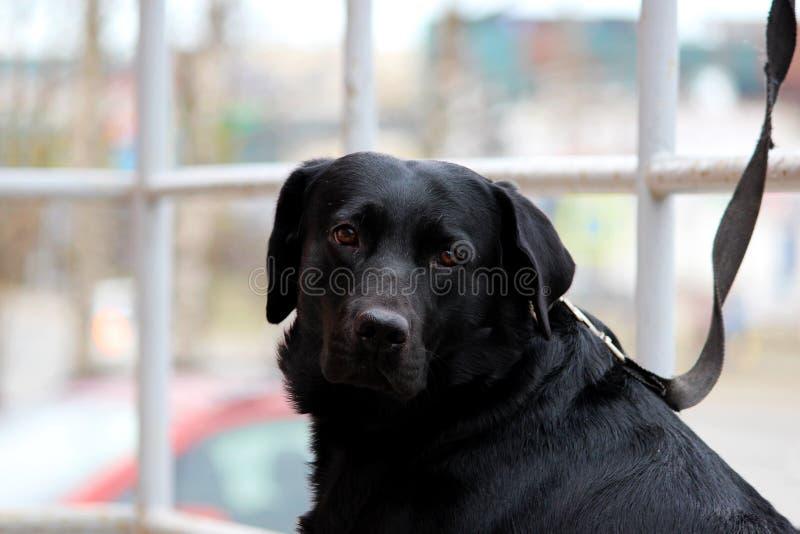 Labrador retriever preto senta-se perto da loja em antecipação ao proprietário fotos de stock