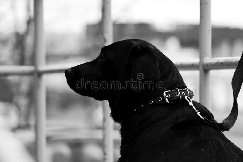 Labrador retriever preto senta-se perto da loja em antecipação ao proprietário Pequim, foto preto e branco de China fotografia de stock royalty free