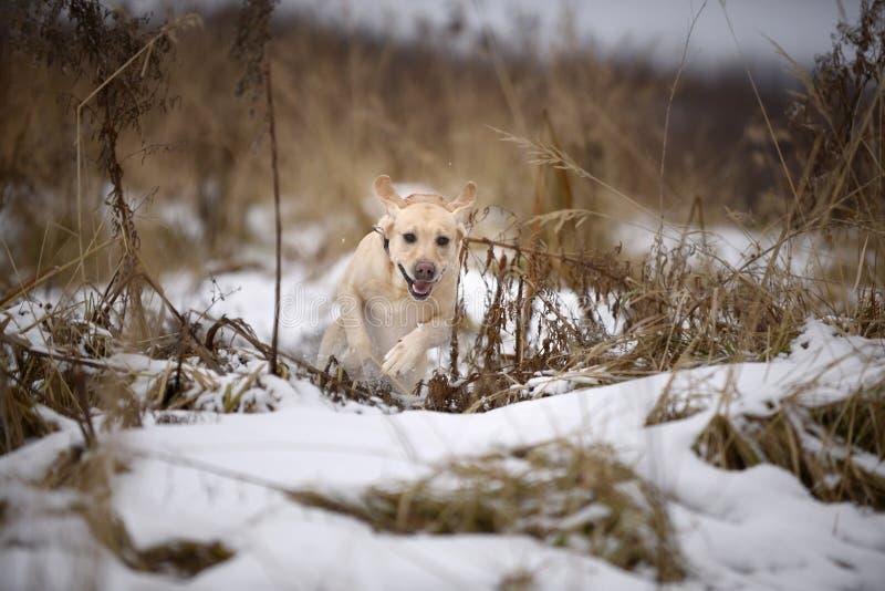 Labrador retriever, przyjaciel, śliczny, radość, wierność, zima, śnieg zdjęcia royalty free