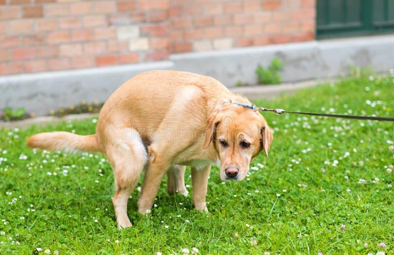 Labrador retriever psa kaku w parku fotografia stock