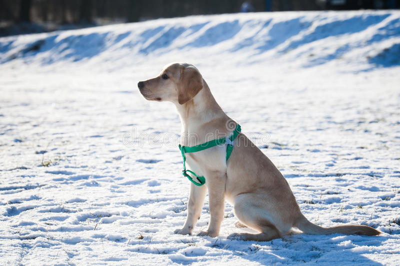 Labrador retriever pup in snow. Labrador retriever pup with green harness in snow on sunny day stock image