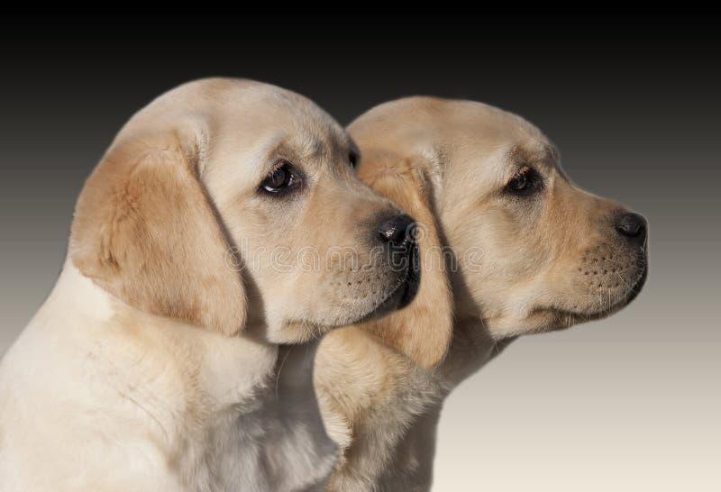 Labrador Retriever puppies. Yellow Labrador Retriever puppies looking royalty free stock image