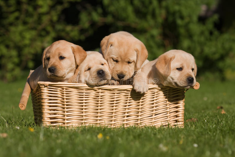 Labrador Retriever puppies in a basket. Four Labrador Retriever puppies sitting together in a basket royalty free stock photo