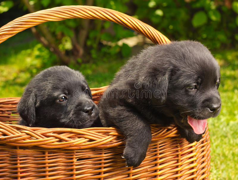 Labrador retriever puppies in a basket royalty free stock image