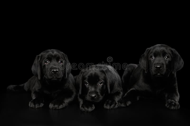 Labrador Retriever puppies isolated on black background stock photo