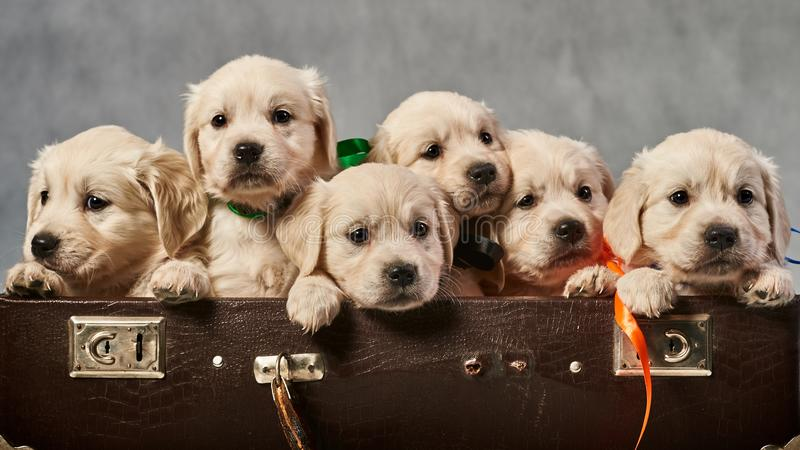 Labrador retriever puppies. In a suitcase stock images