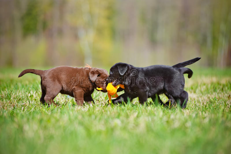 Labrador retriever puppies playing together. Labrador retriever puppies outdoors in summer royalty free stock image