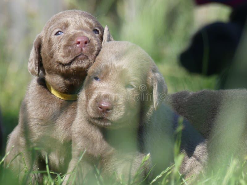 Labrador retriever puppies Silver in gras stock image