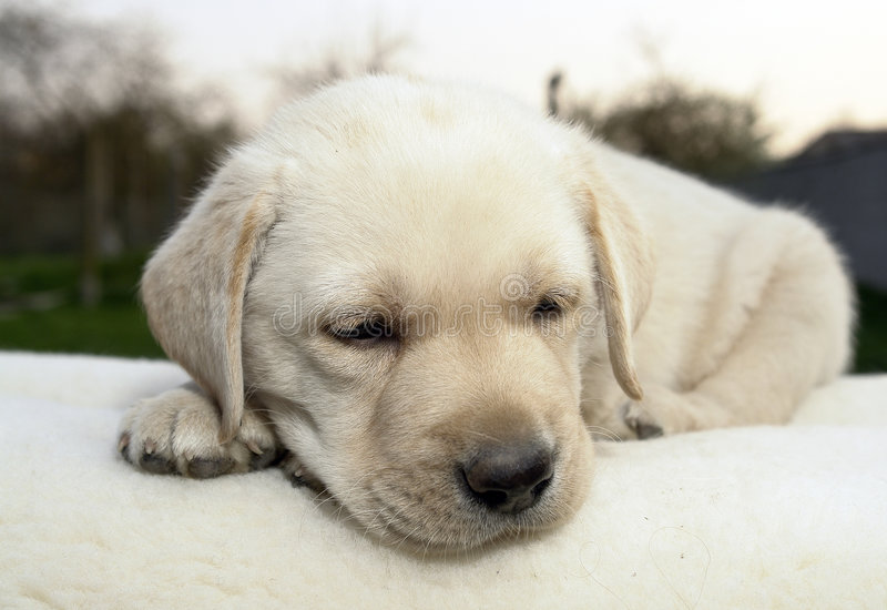 Labrador retriever puppy 13 royalty free stock photo