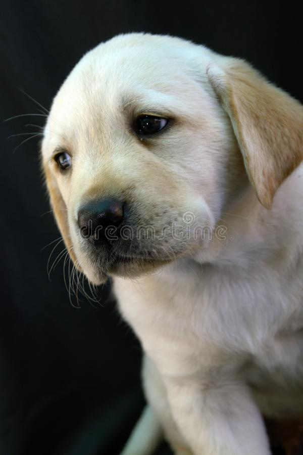 Labrador retriever puppy 14 royalty free stock photo