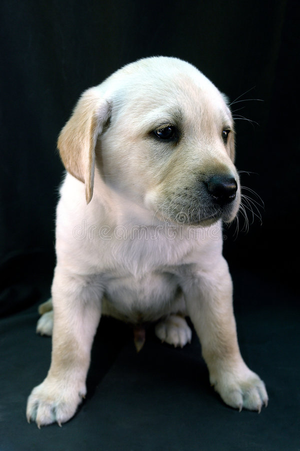 Labrador retriever puppy 18 royalty free stock images